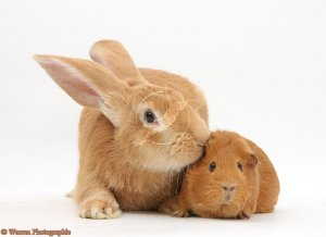 Flemish Giant Rabbit, Toffee, with red Guinea pig